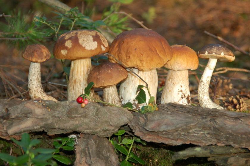 грибы Адыгеи 2021 года форум 1