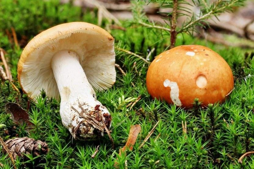 какие грибы прорастают в Самарской области фото 2