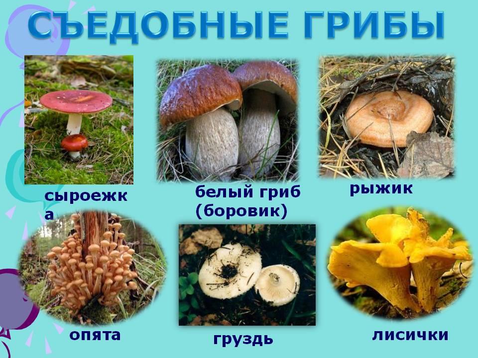 условные и съедобные грибы в лесных массивах Тверской области фото