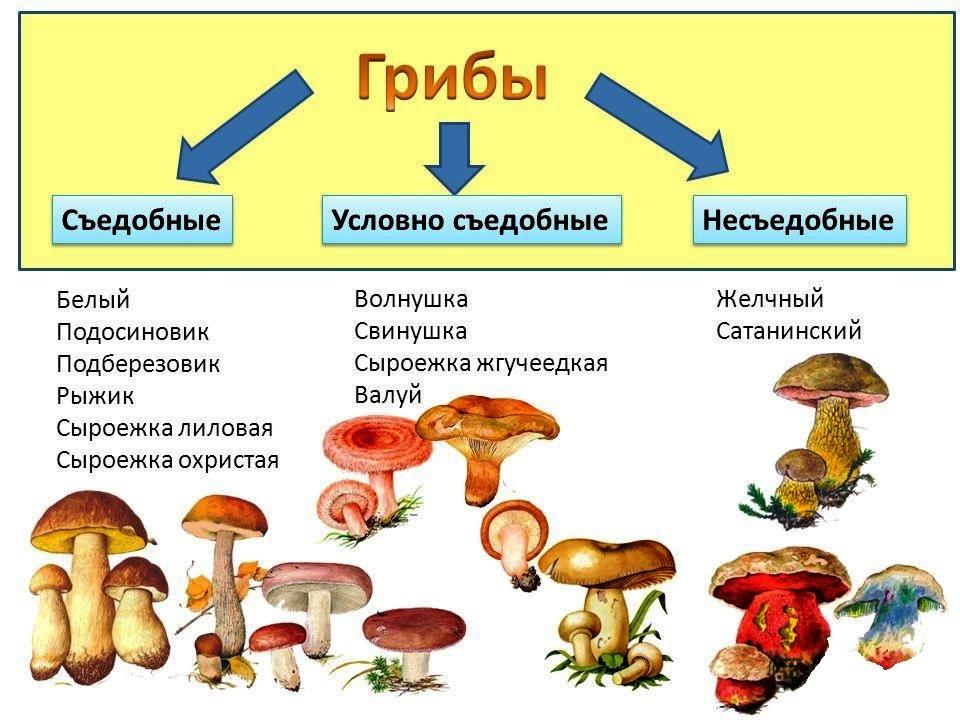 условные и съедобные грибы, где искать и собирать фото