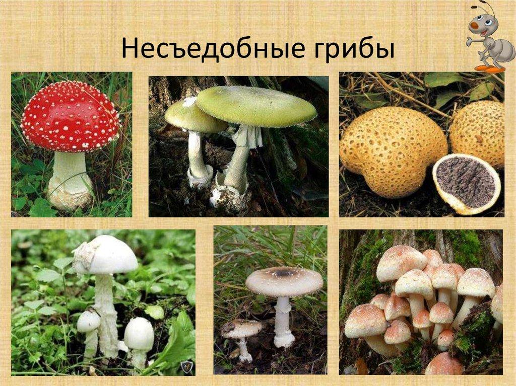 ядовитые и несъедобные грибы фото