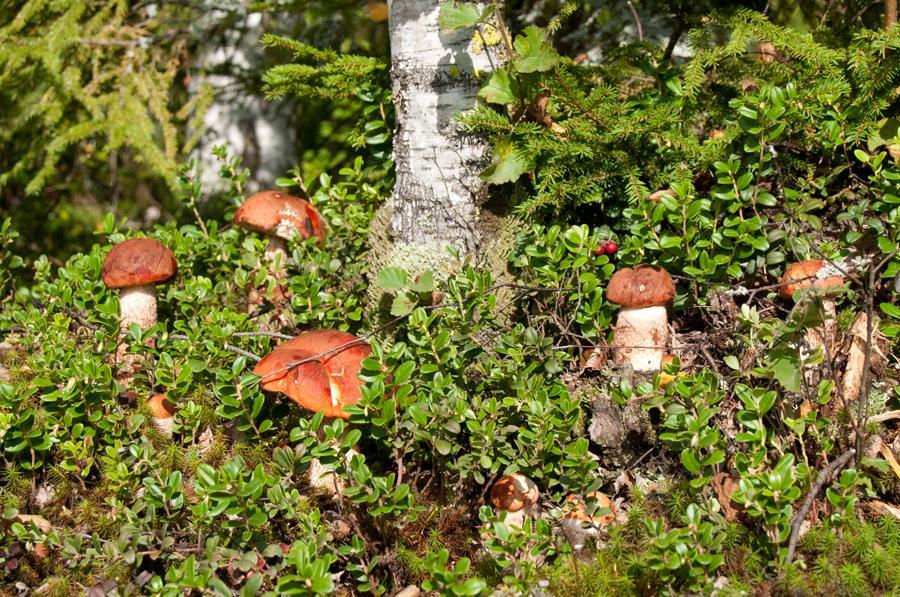 грибные места и грибы Ярославской области 2021 фото 2