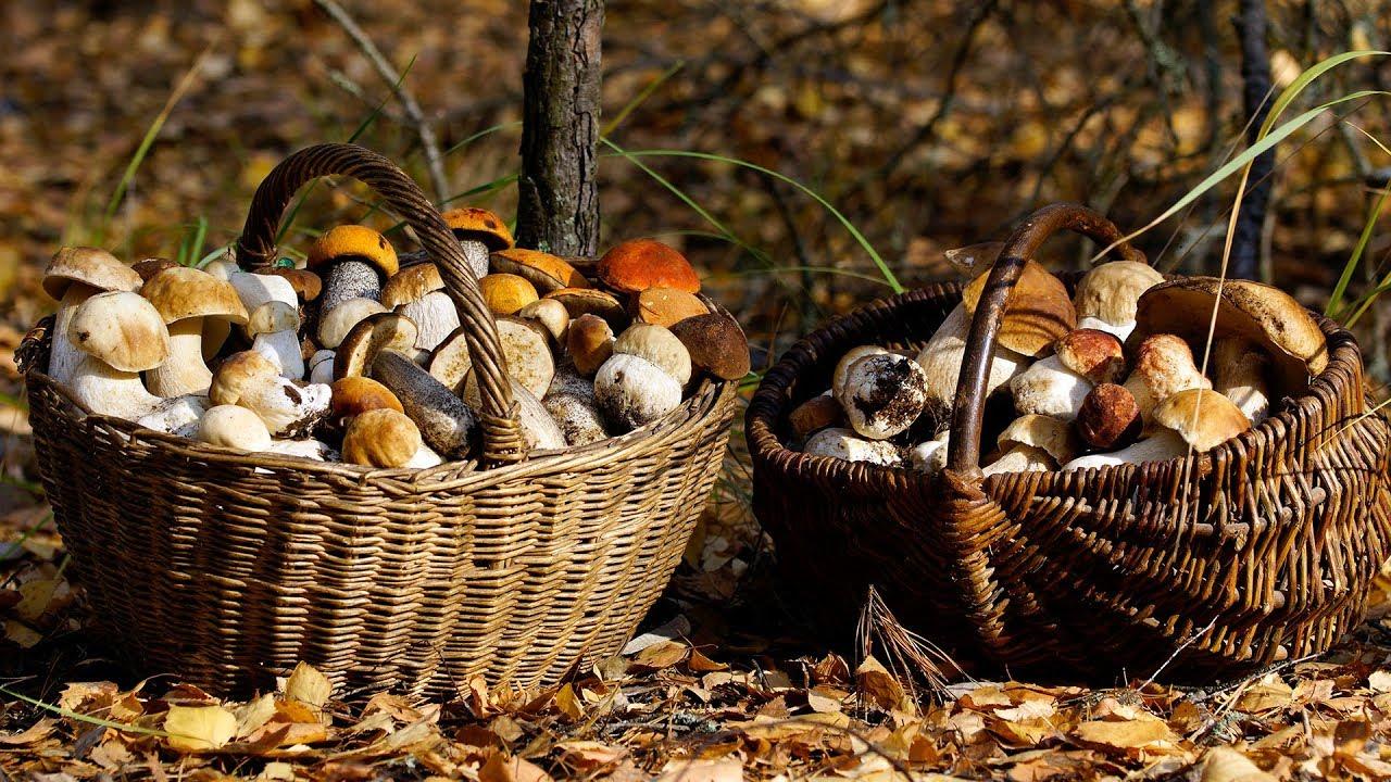 урожай грибов на фото, Владимирская область 2021 1