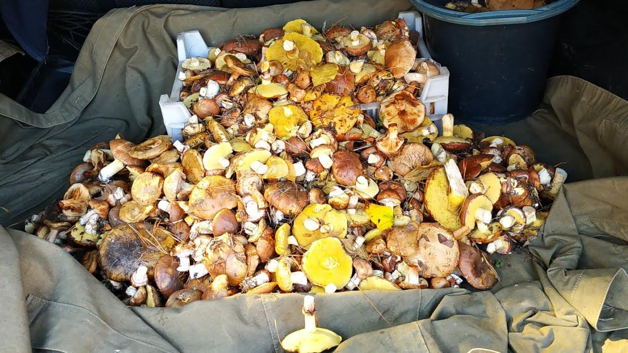 урожай грибов на фото, Владимирская область 2021 4