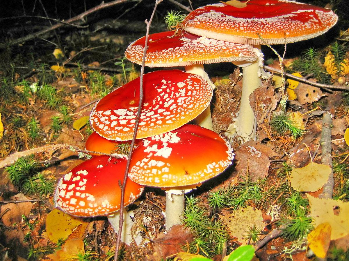 несъедобные и ядовитые грибы собирать нельзя! фото