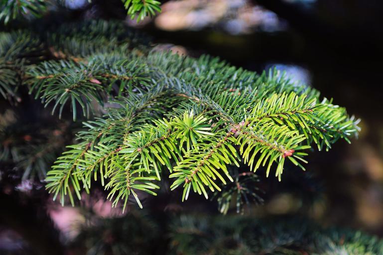 топ-10 хвойных деревьев для сада 2021 года