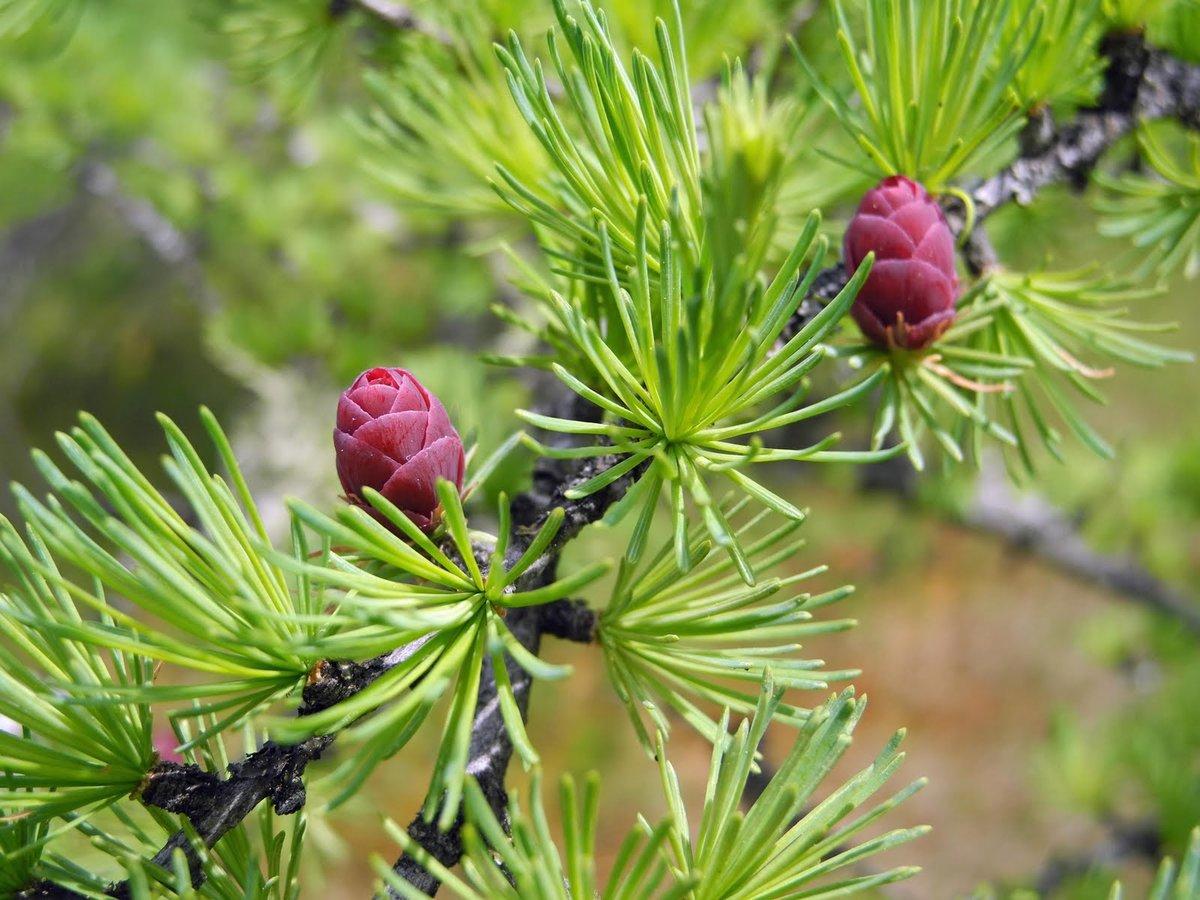можжевельник обыкновенный (Juniperus communis) фото