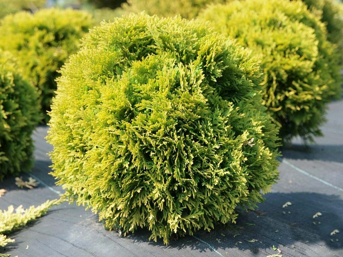 туя западная «Smaragd» (Thuja occidentalis «Smaragd») фото