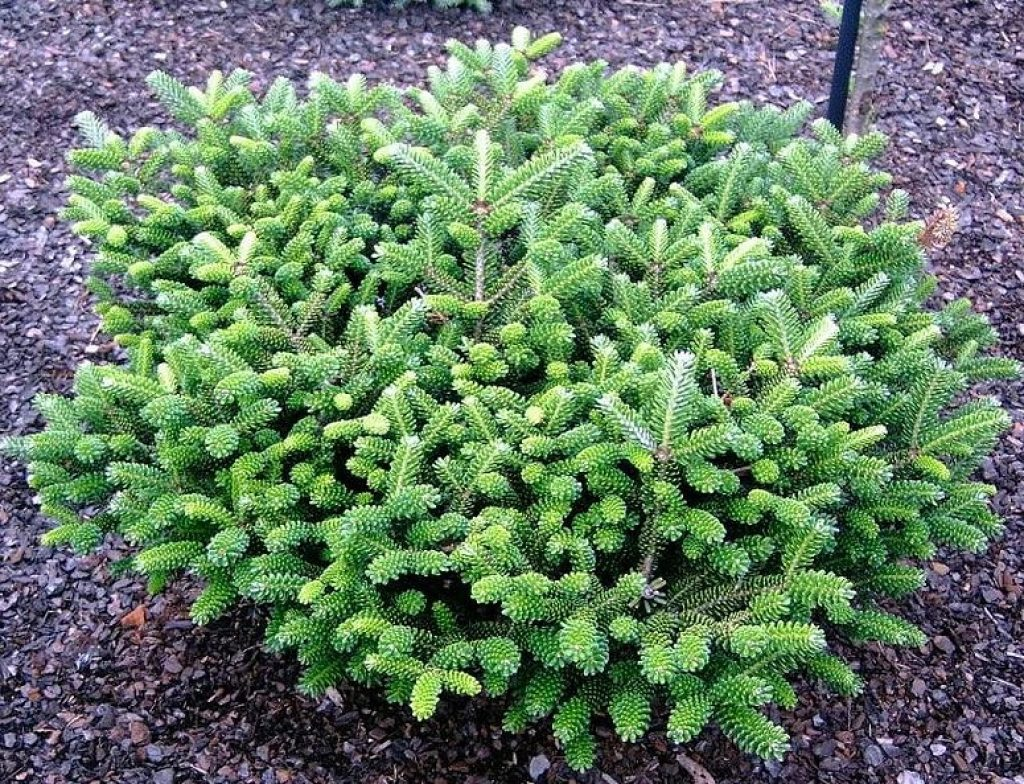 ель сизая «Conica» (Picea glauca «Conica») фото