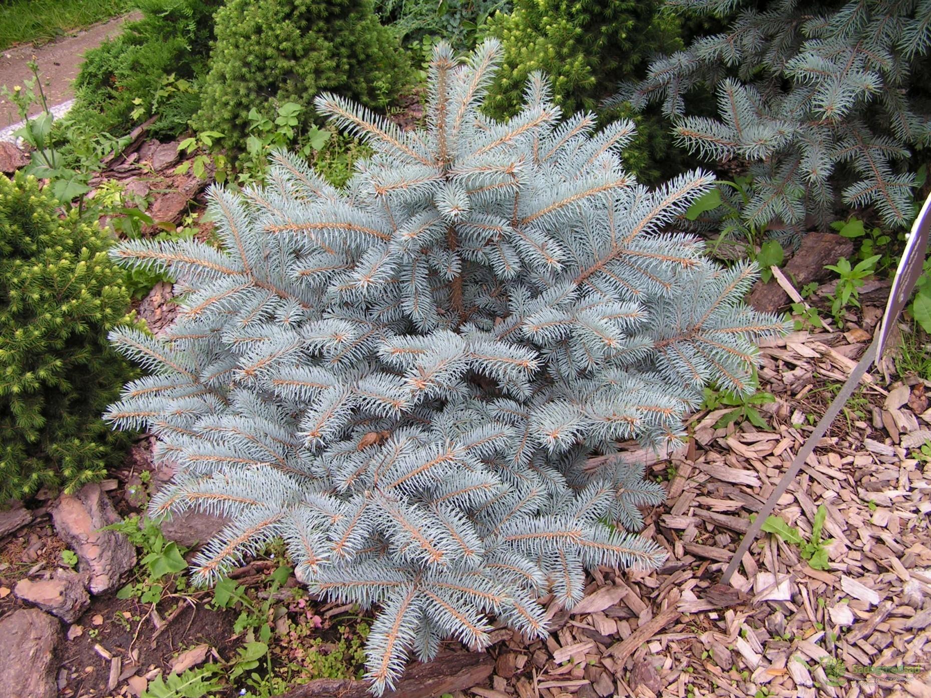 сосна остистая (Pinus aristata) фото