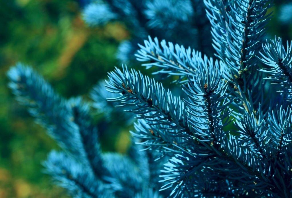 ель голубая (Picea pungens) фото
