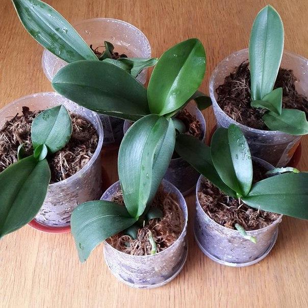 особенности пересадки орхидеи на разных этапах цветения фото 2