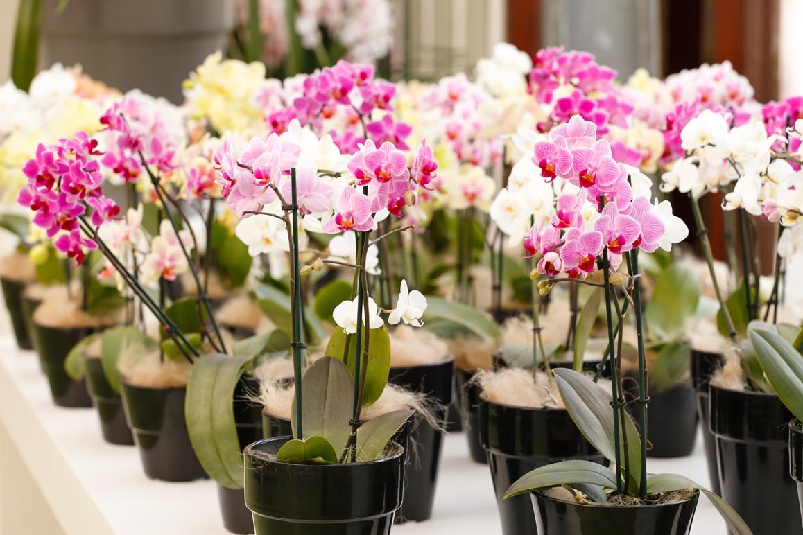 особенности пересадки орхидеи на разных этапах цветения фото
