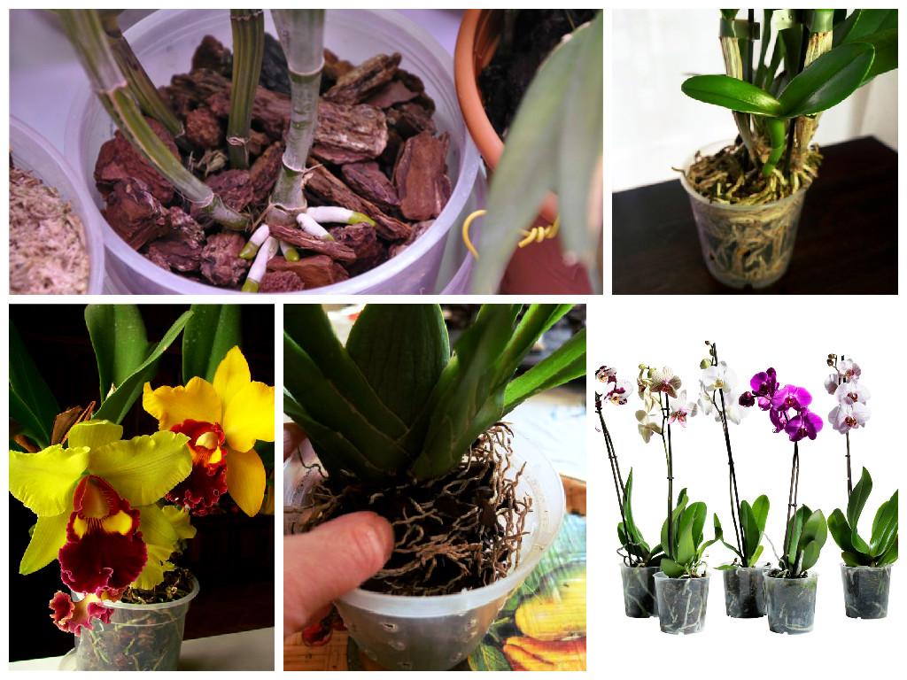 влияние пересадки на рост и развитие для разных сортов орхидеи фото