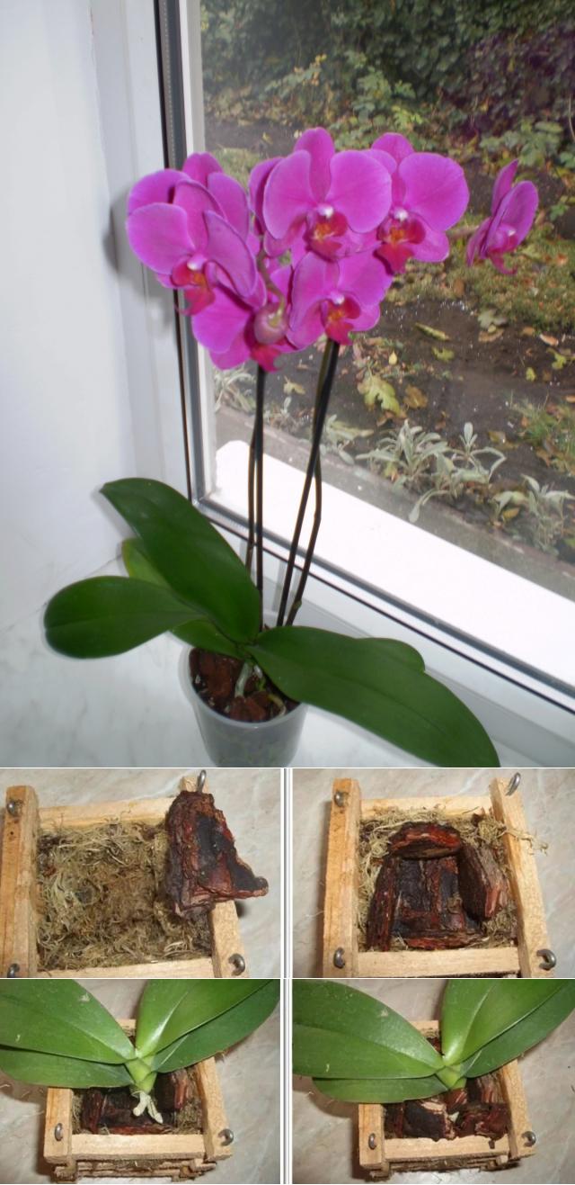 фото пересадки цветущей орхидеи 1