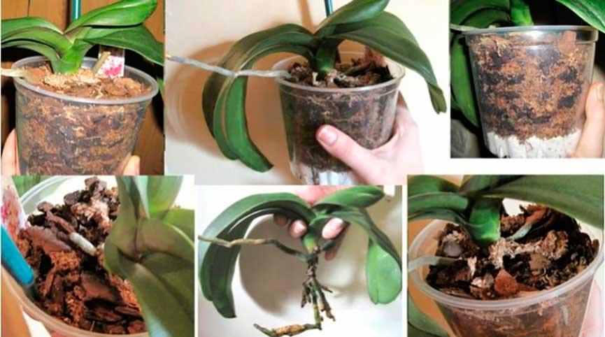 фото пересадки цветущей орхидеи 2