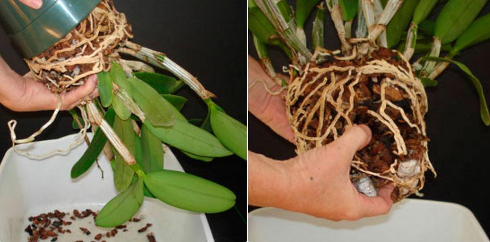 фото пересадки цветущей орхидеи 4