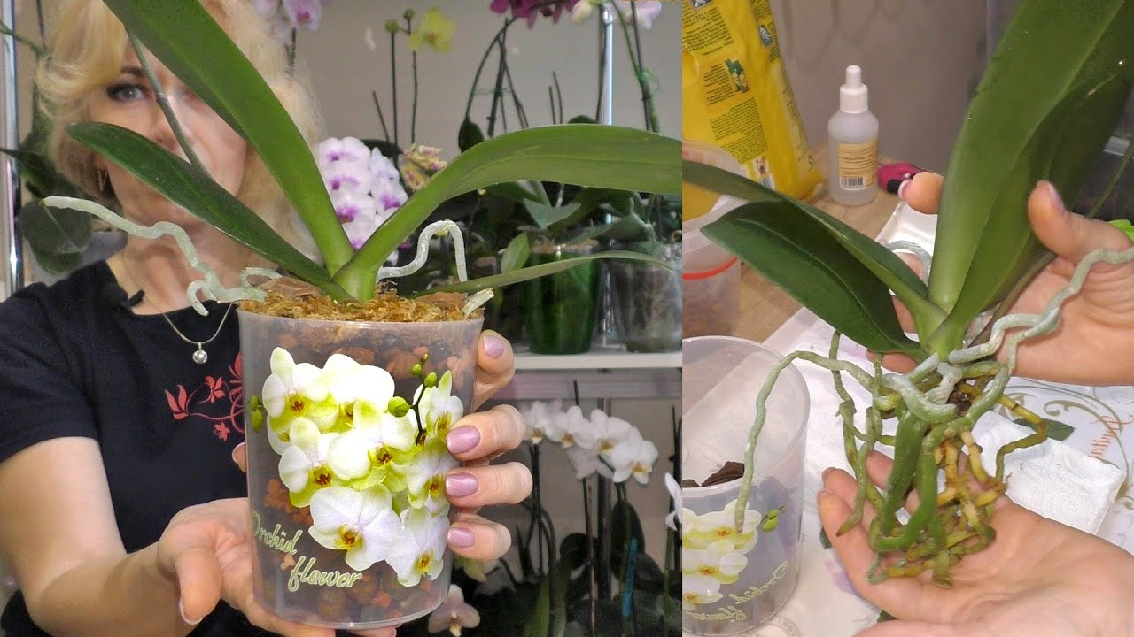 фото пересадки цветущей орхидеи 5