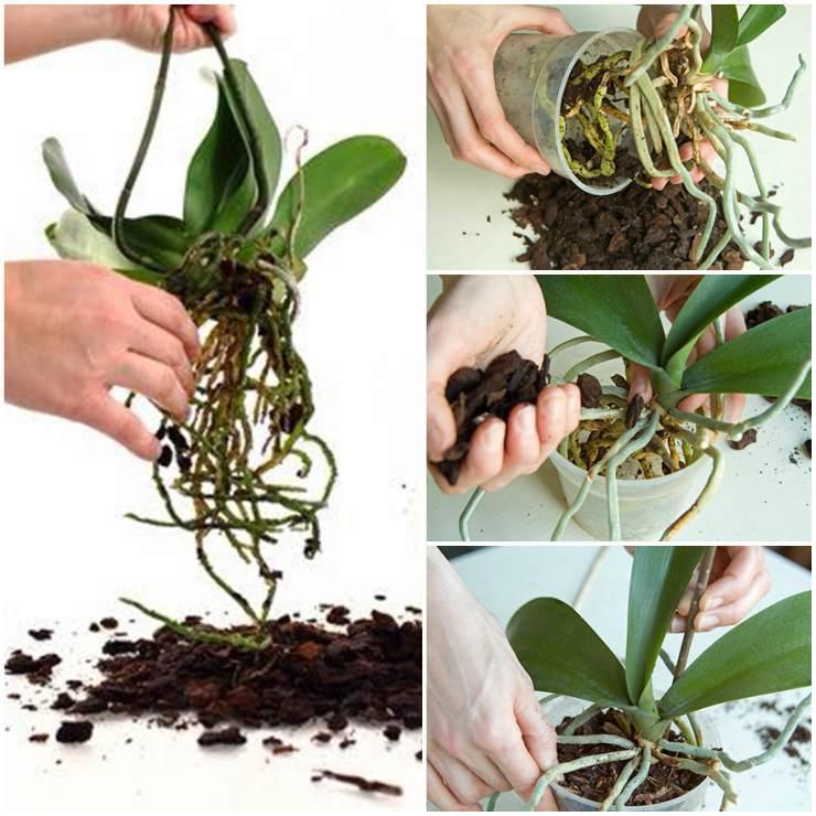 можно ли после покупки пересаживать цветущую орхидею фото 2