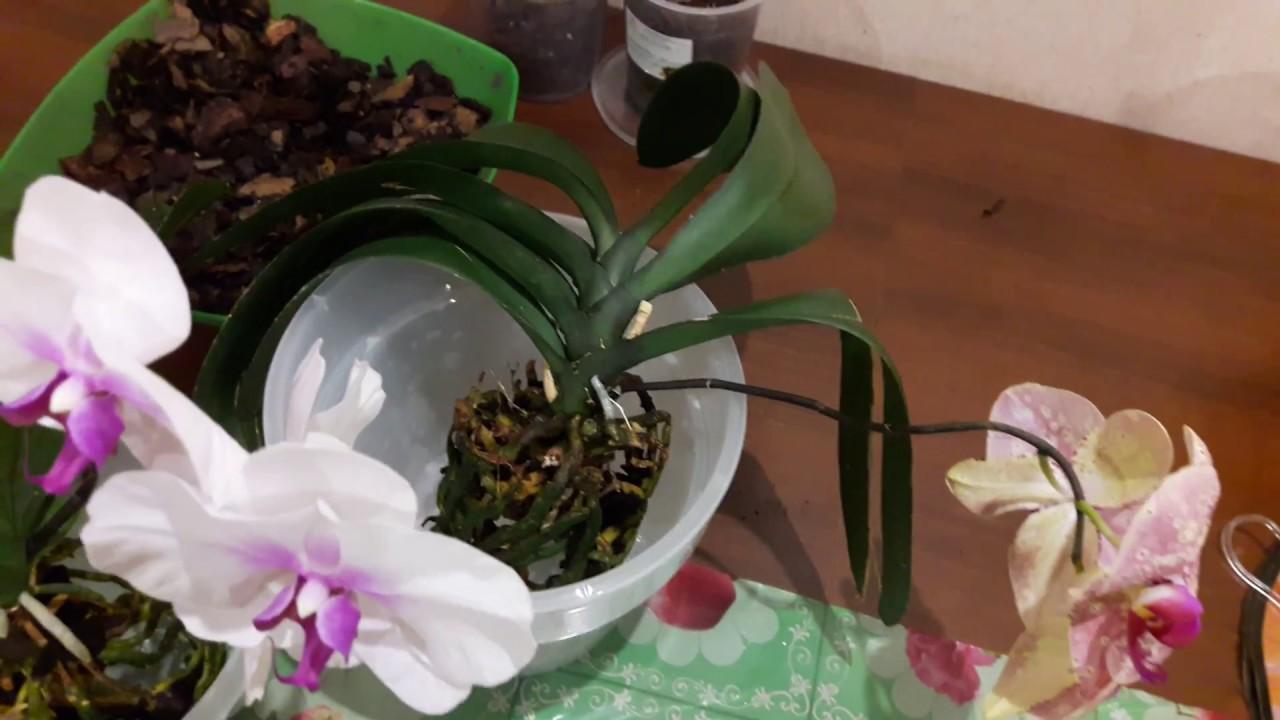 как сказывается на развитии пересадка орхидеи во время цветения фото 1