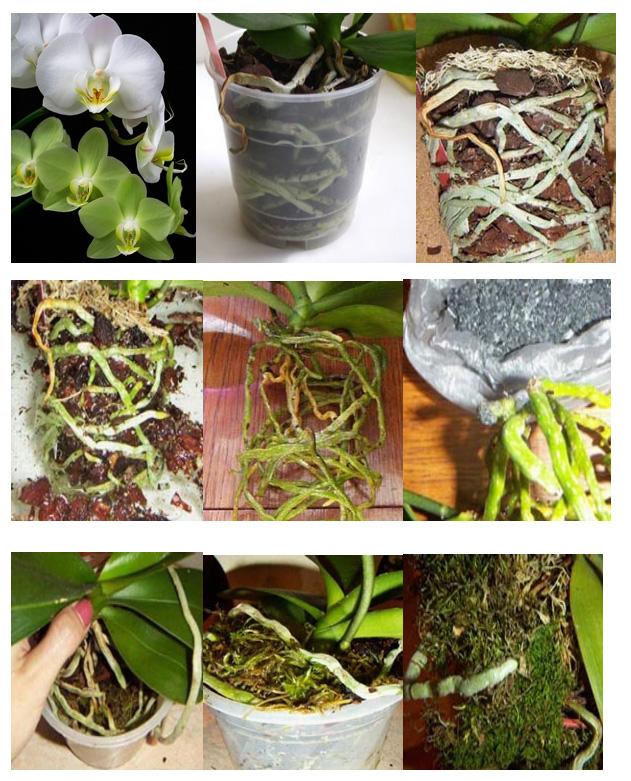 выемка (пикирование) растения из старого горшка фото 1