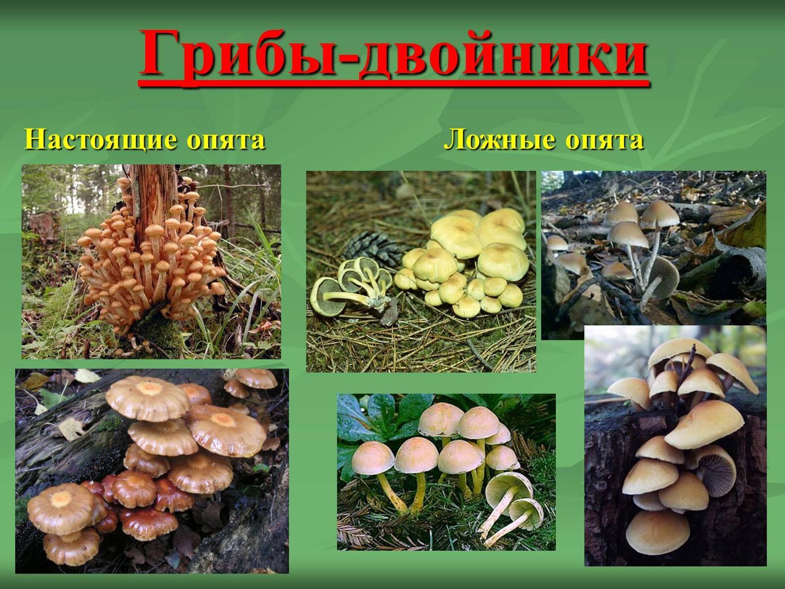 осенние опята на Урале, время сбора фото 2