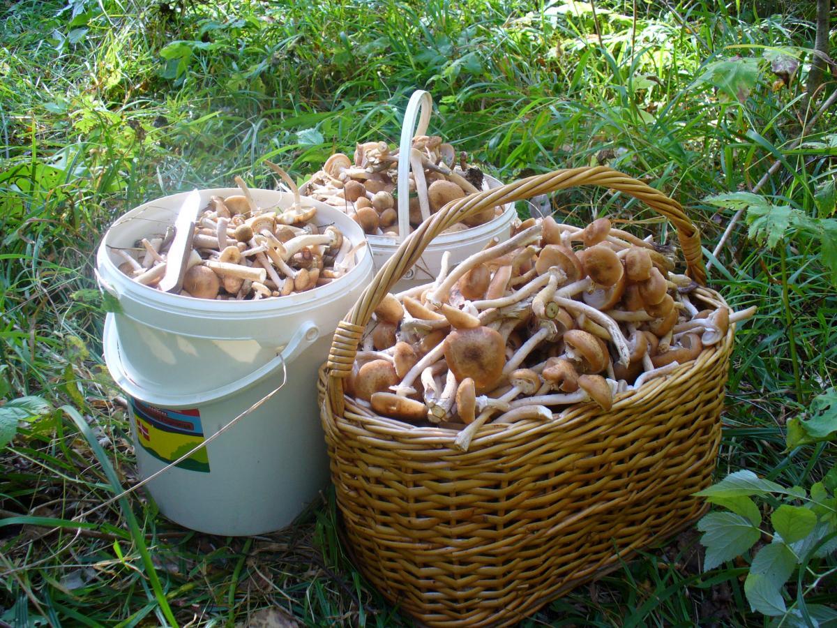 урожая опят 2021 в Курской области, фото реальных грибников 2