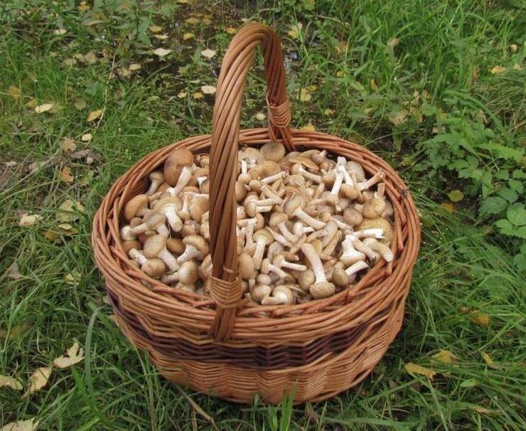урожая опят 2021 в Курской области, фото реальных грибников 4