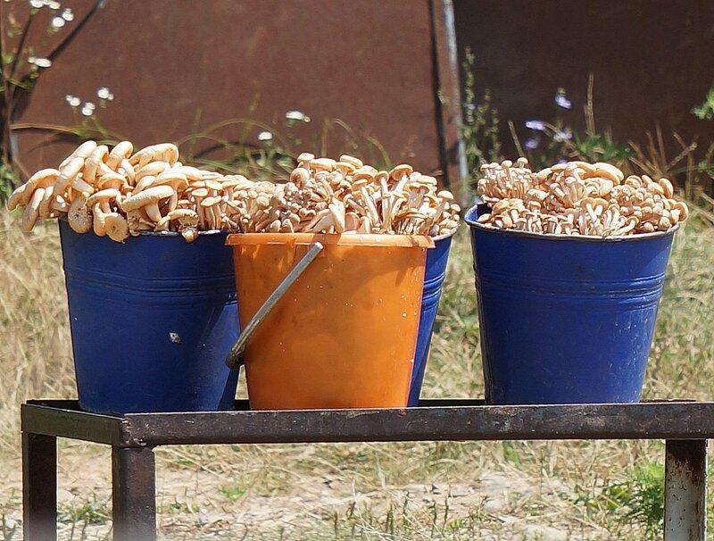 урожай опят в Липецкой области на фото отзывов 2021 3