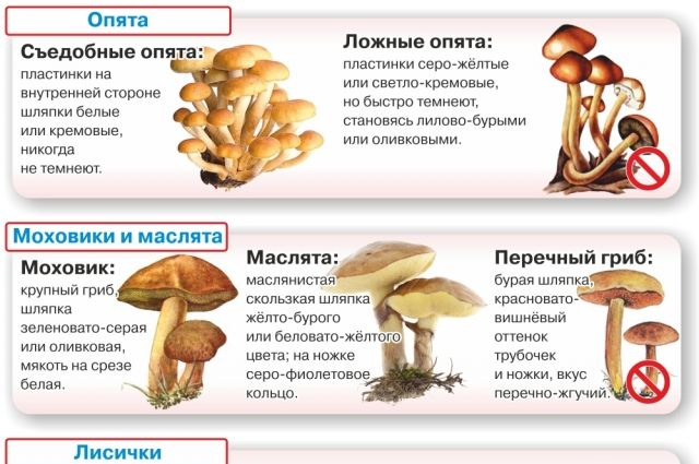 опята 2021 в Москве и Московской области, когда начинается сезон фото 3