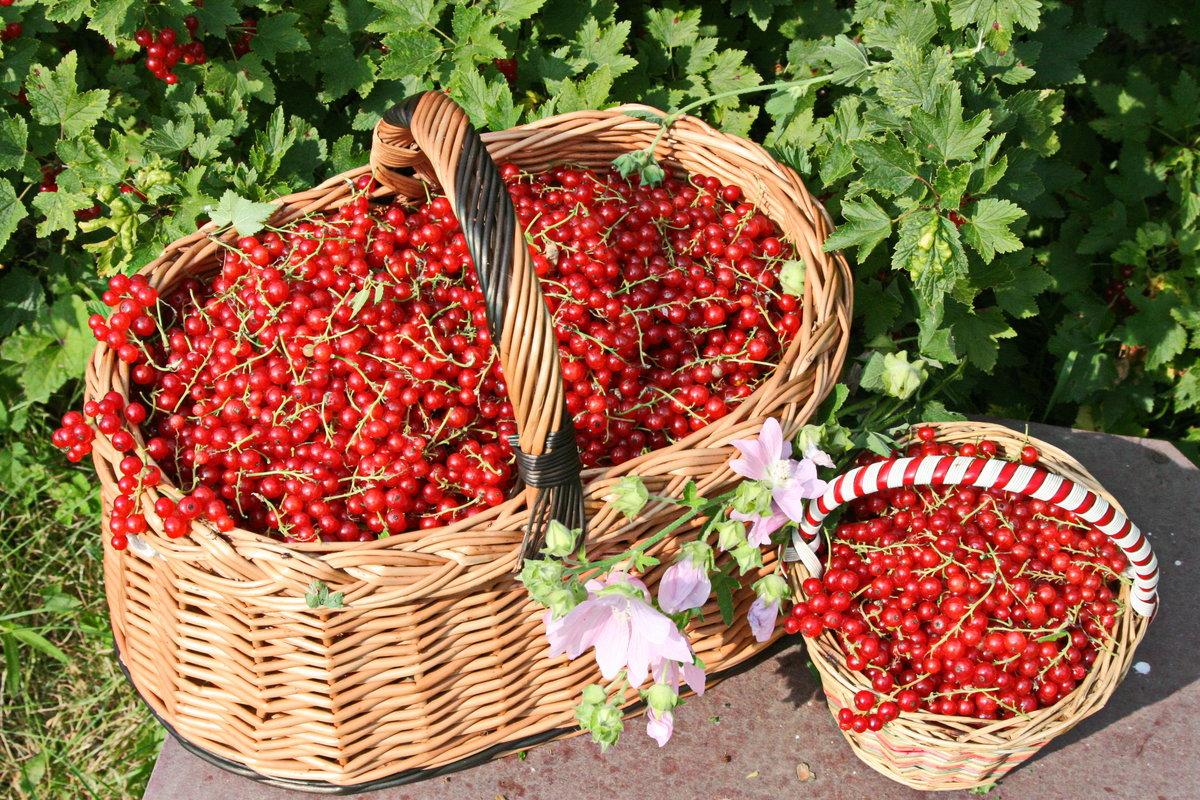 фото сбора урожая ягод 2021 в картинках 1