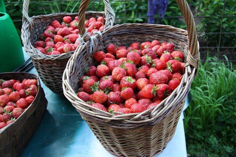 фото сбора урожая ягод 2021 в картинках 2