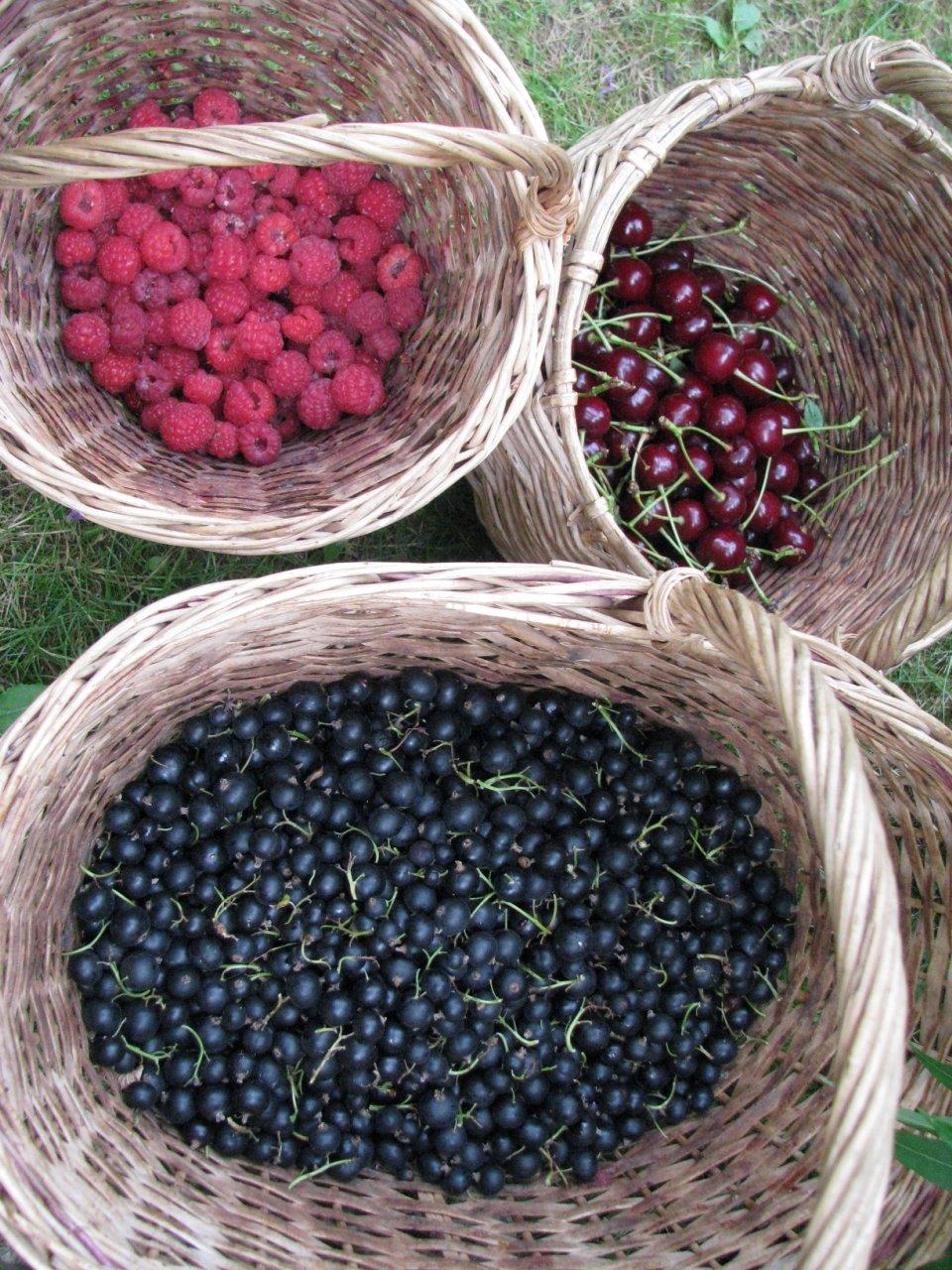 фото сбора урожая ягод 2021 в картинках 4