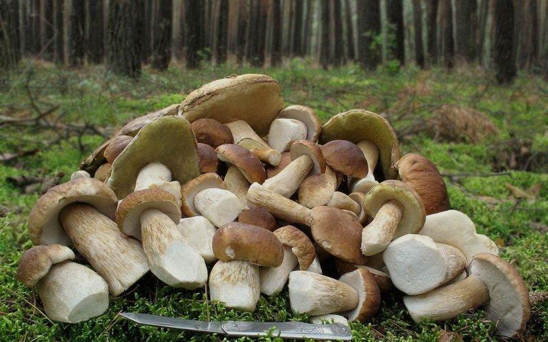 белые и полубелые грибы, когда появятся в лесах России фото