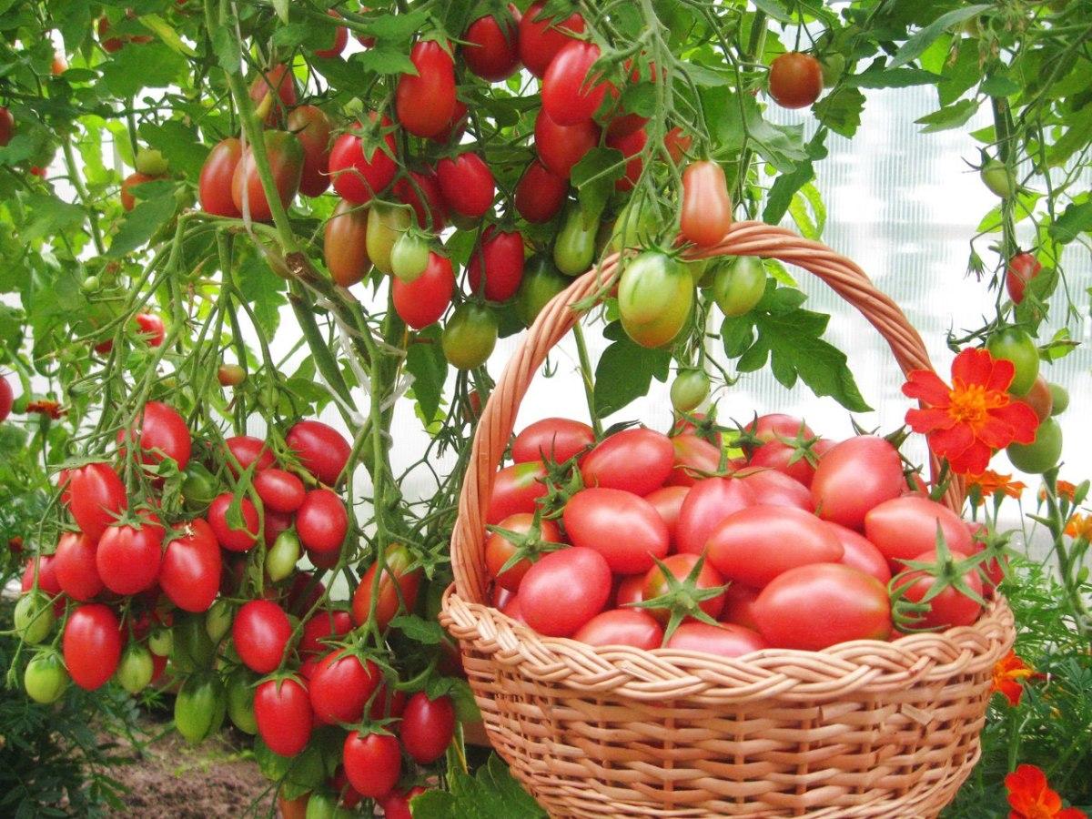томаты (помидоры) фото