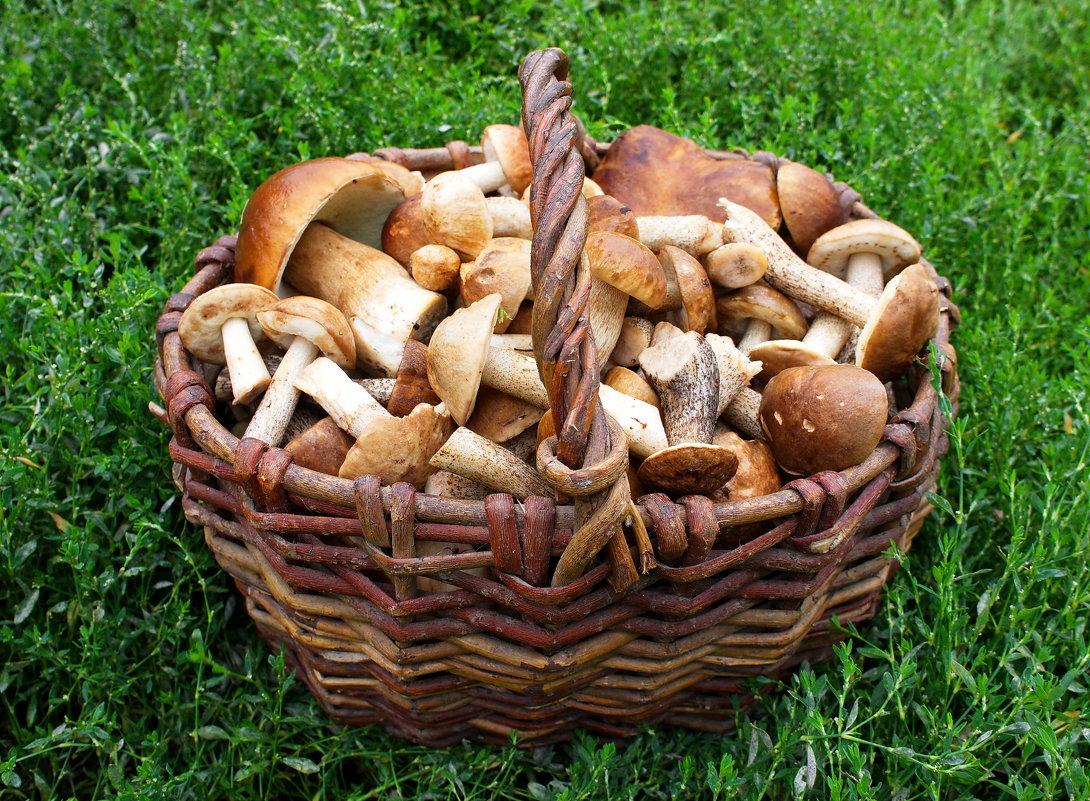 съедобные грибы, описание + фото 1