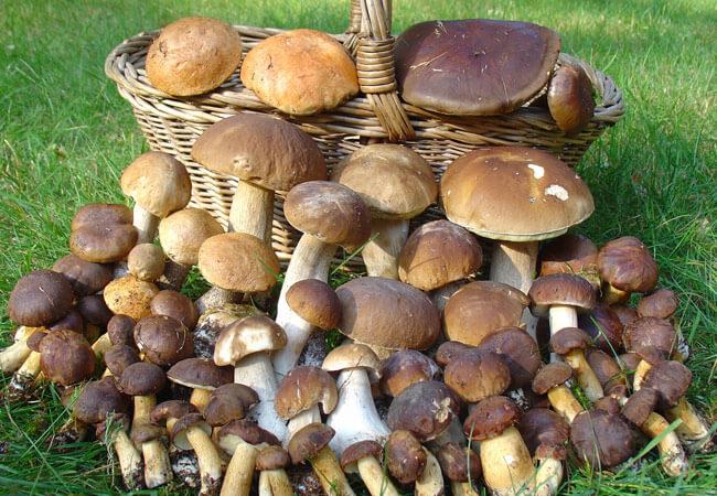сбор грибов, когда начинается и заканчивается фото