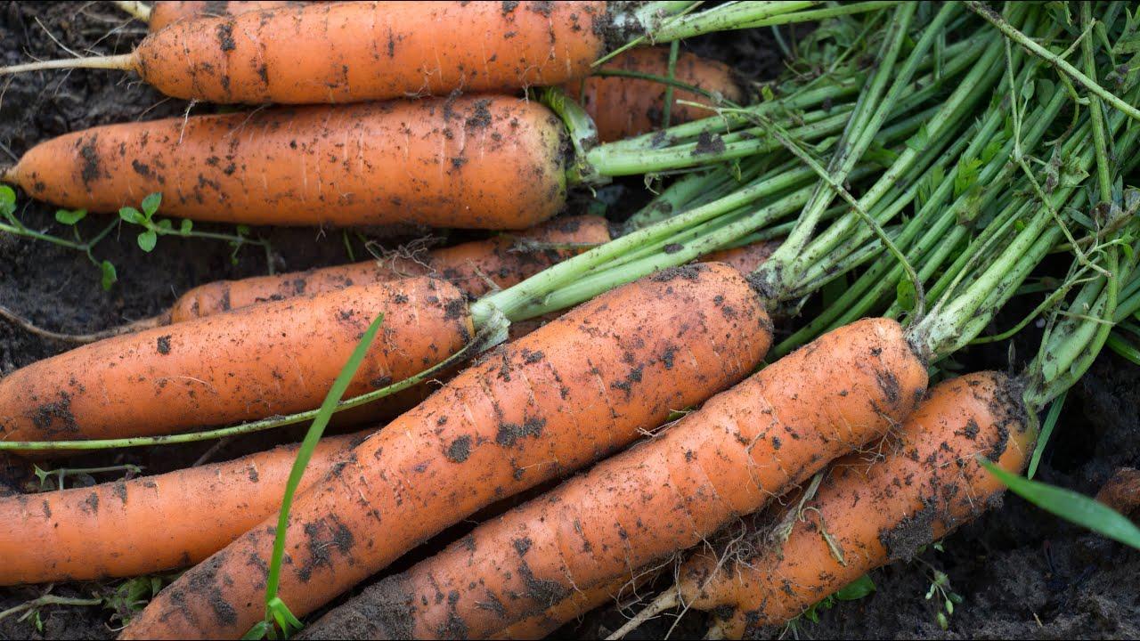 сроки посадки моркови в 2021 году под зиму фото