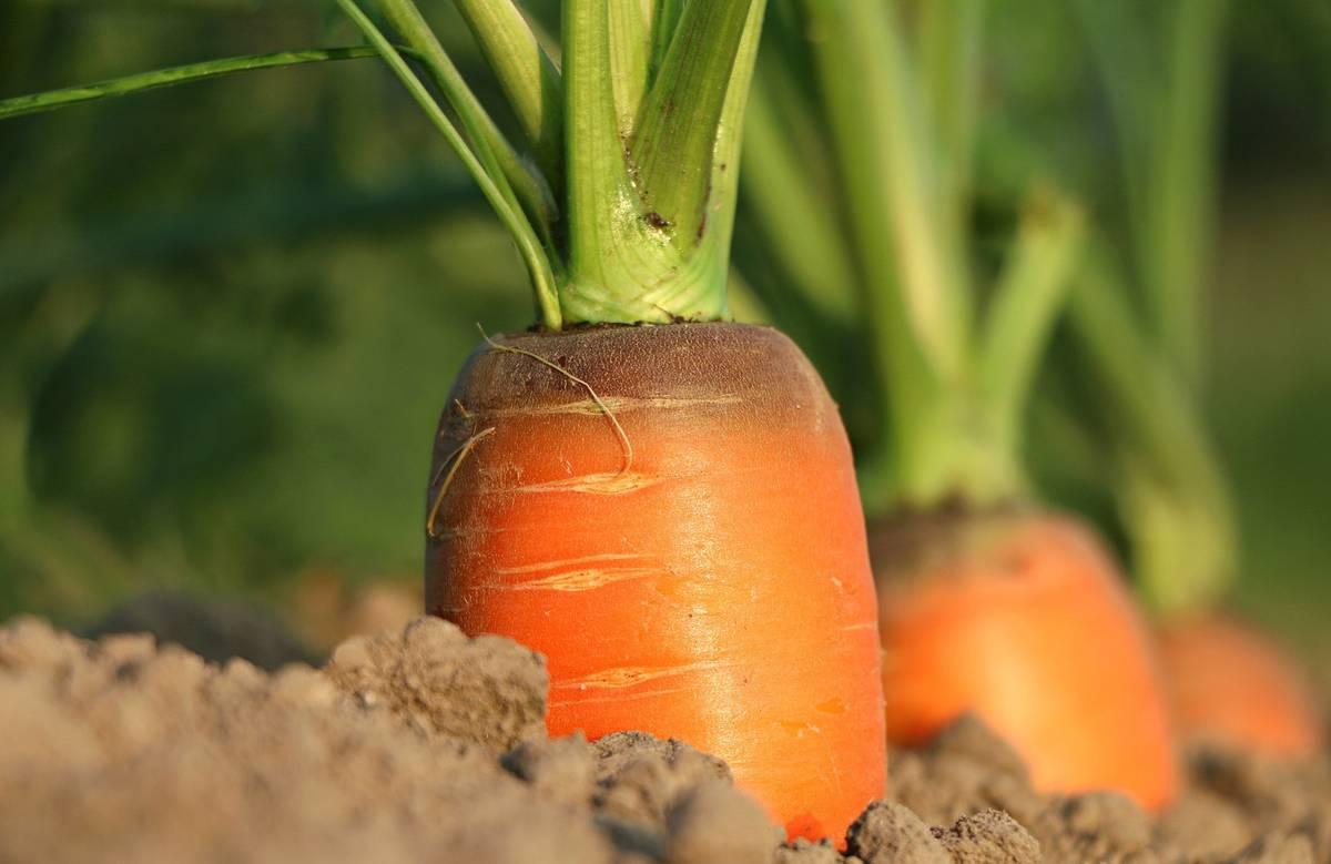 благоприятные дни для посева моркови под зиму в 2021 году фото