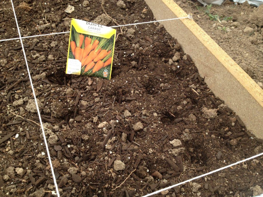 сроки посадки моркови в 2021 году под зиму фото 2