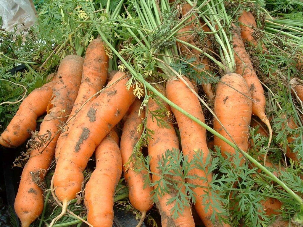 выращивание моркови на грядке, технология на фото 1