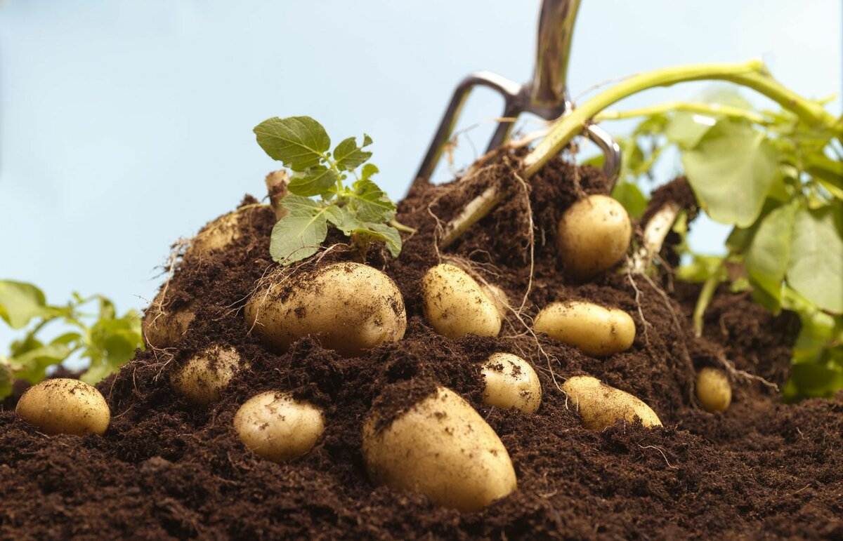 показатели (прогноз): цены на картофель в 2021 году фото