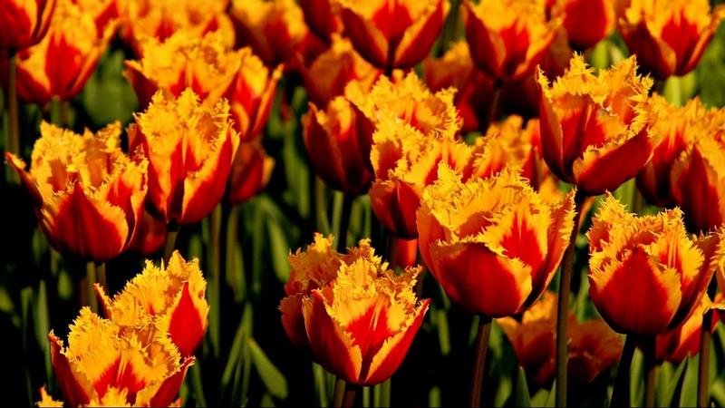 посадка тюльпанов осенью в 2021 году фото