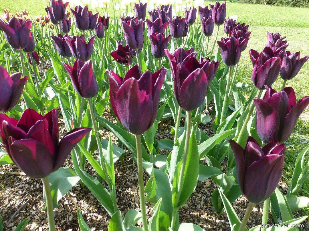 самые лучшие сорта тюльпанов, топ 2021 года на фото 6