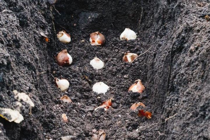 благоприятные дни для посадки тюльпанов по Лунному календарю в 2021 году осенью фото