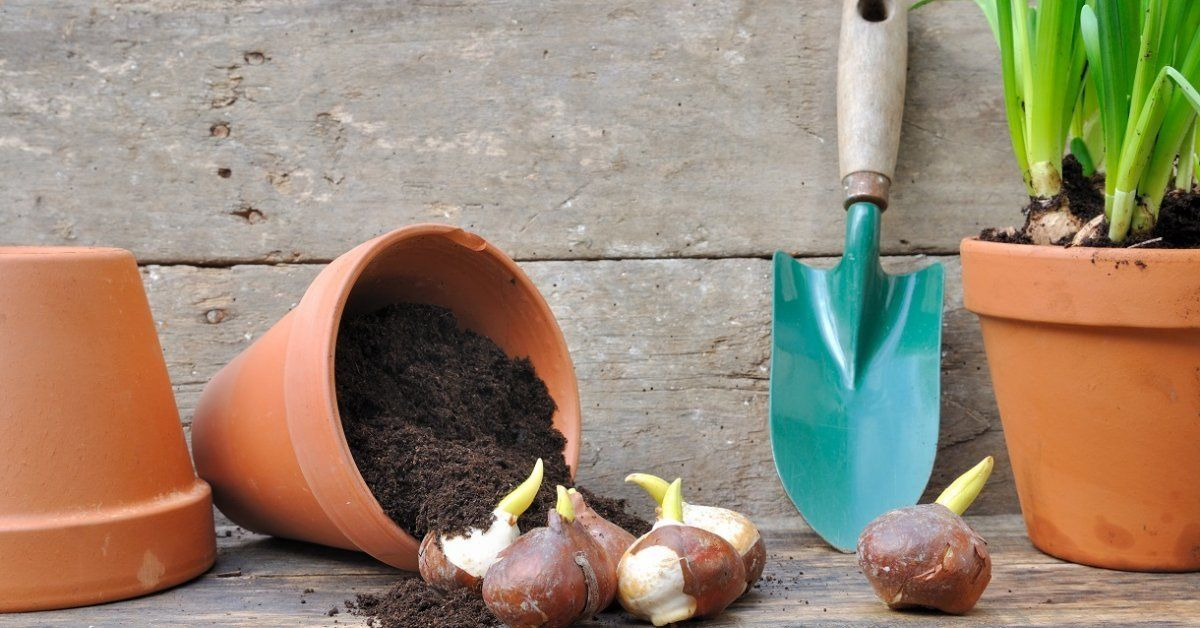 правильная посадка тюльпанов, советы и рекомендации + фото 1