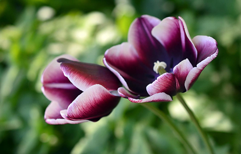 самые лучшие сорта тюльпанов, топ 2021 года на фото 2
