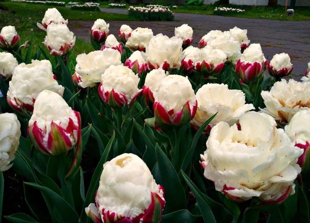 самые лучшие сорта тюльпанов, топ 2021 года на фото 3