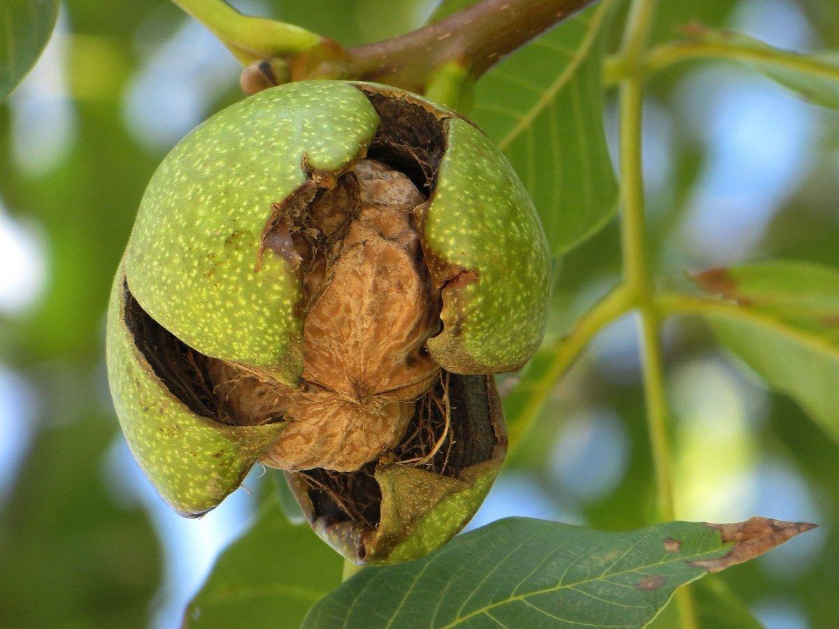 сбор урожая грецких орехов 2021 фото 1