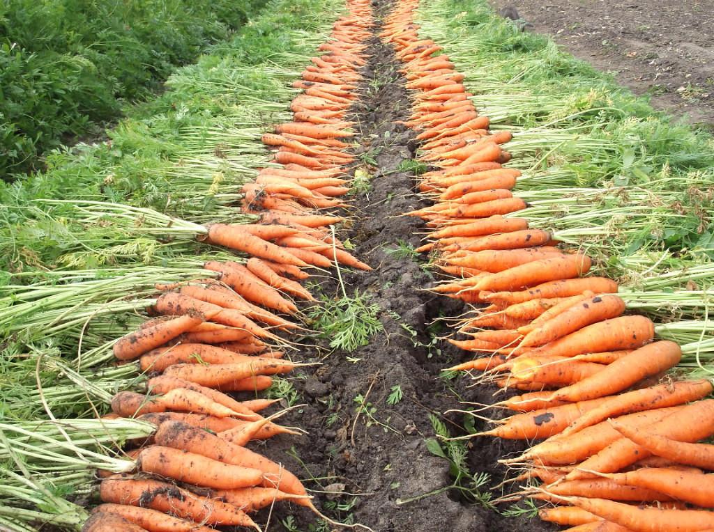 как определить зрелость моркови по признакам фото